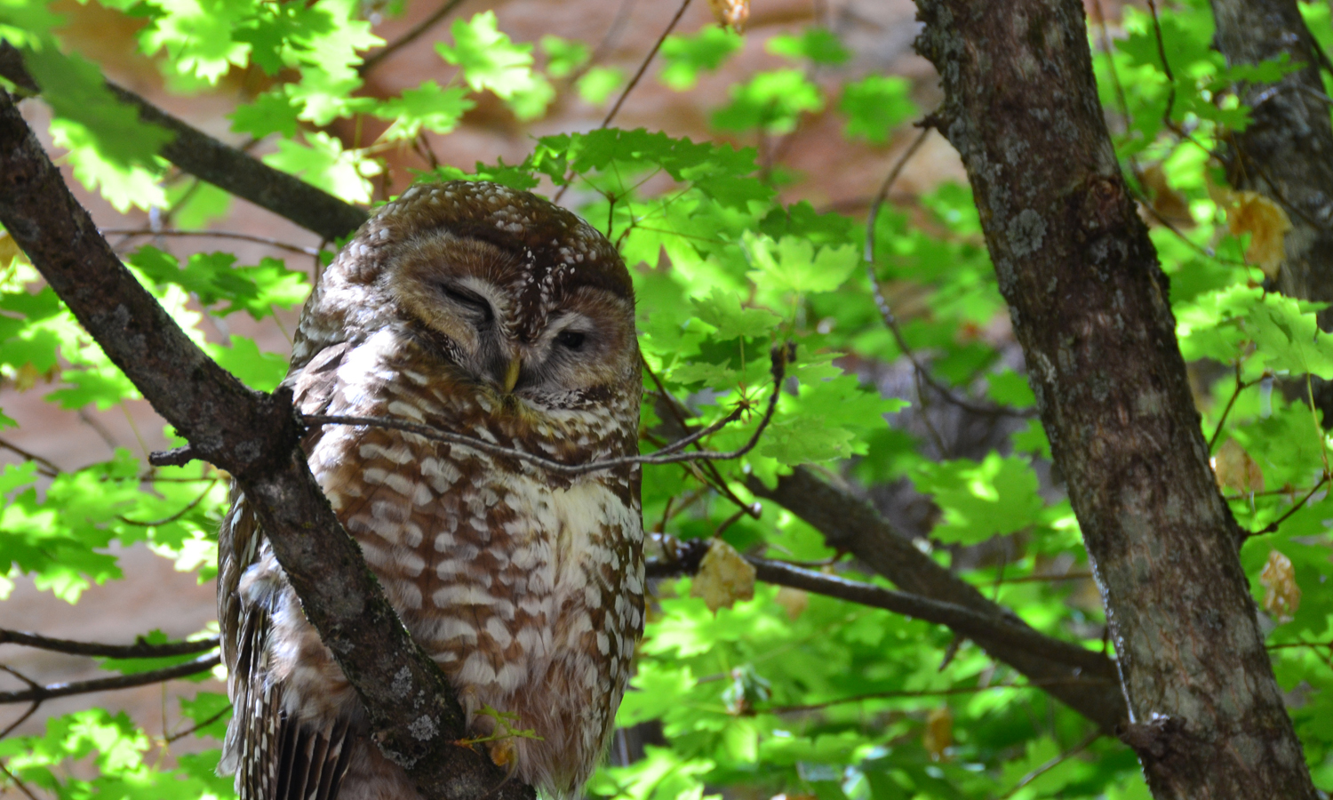 Mexican Spotted Owl Threatened Species