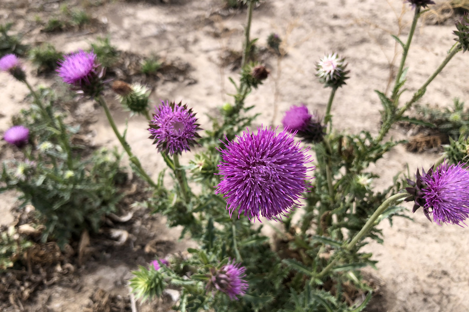 Musk Thistle IMG_2430 1500 x 1000